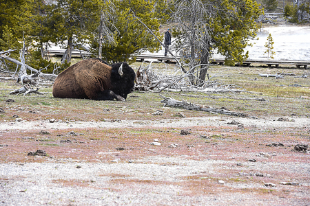 A sleeping bison with shaggy , long , dark - brown winter coat in a grassland in Yellowstone National Park , U.S.A.