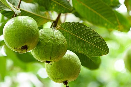 거친 어두운 잎을 가진 작은 나무와 많은 - 시드 베리 과일.
