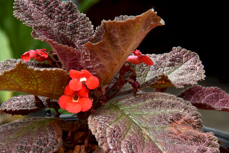 The orange - red flowers with chocolate - brown color foliages .