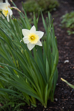 unmatched: The daffodils are the flowers symbolizing friendship and bloom in late winter or early spring.