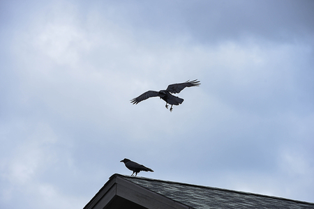 The flocks of ravens having large and black beaks , shaggy feathers and wedge - shaped tails.