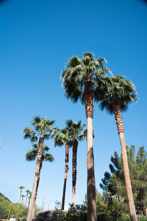 Date trees typically reach 21 - 23 metres in height with full span of the crown range from 6 - 10 metres.