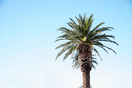 Le palmier spectaculaire cultivé pour l'aménagement paysager de vastes zones ou la garde des entrées du développement du logement.