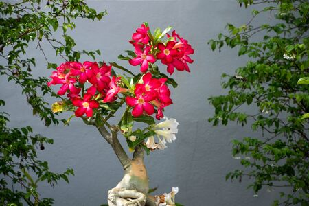 obesum: The brightly red  flowers of the desert rose with poisonous sap and swollen stem.
