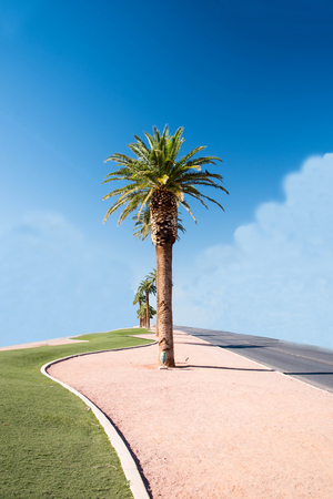 The spectacular palms  grown for landscaping large areas or guarding the entrances of housing development.