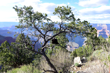 A big , black raven perched on a branch of a  pine tree with a background of Grand Canyon.