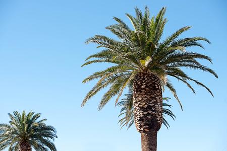 De spectaculaire palm die wordt gekweekt voor het modelleren van grote gebieden of het bewaken van de ingangen van woningbouw.