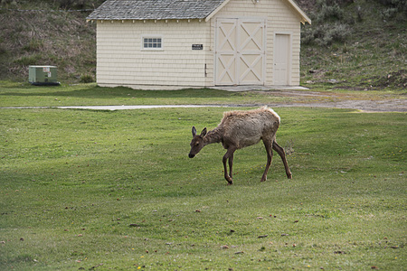 The beautiful and charming mammal that is considered to be the primary prey for predators in Yellowstone.