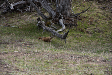 The dam builder is a herbivorous rodent native to North America. Stock fotó