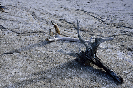 Dead trees stand on gray mud in a thermal feature in Lower Geyser Basin , Yellowstone National Park.