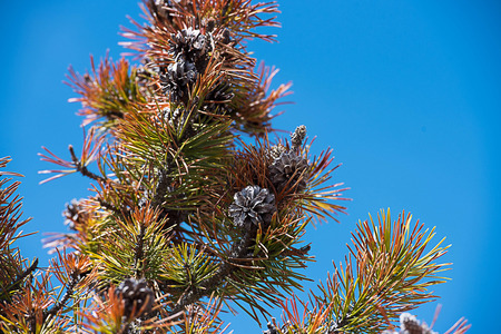 The  evergreen pine trees with long , needle - shaped leaves and mature cones.