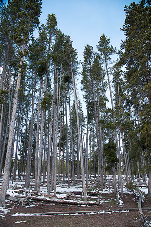 Pine forest at the entrance to the Old Faithful Geyser , Yellowstone National Park. Imagens