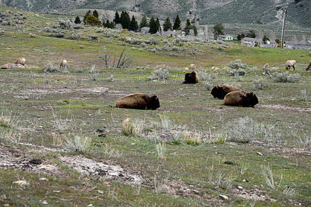 Bisons and elks living together in the Yellowstone National Park.
