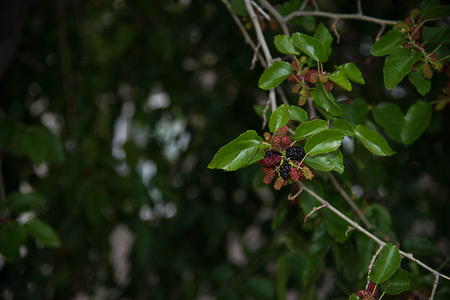 The collective fruits are succulent , fat and full of sweet fkavored  juice when fully ripe .
