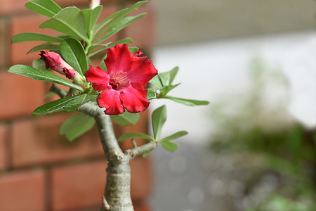 The brightly red   flowers of the desert rose with poisonous sap and swollen stem. Stock Photo