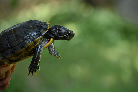 The fresh - water turtle , a reptile with bony shell developed from their ribs and acting as a shield. Stock Photo