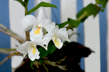 A beautiful large - flowered dendrobium found in Indochina and the Andaman islands.