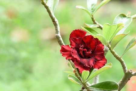 The brightly red  flowers of the desert rose with poisonous sap and swollen stem.