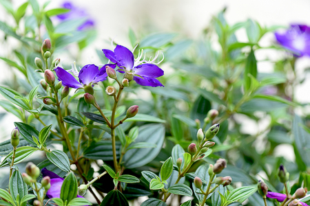 The large purple flowers of tibouchina with dark green leaves stock photo the large purple flowers of tibouchina with dark green leaves grown as an ornamental plant in a garden mightylinksfo
