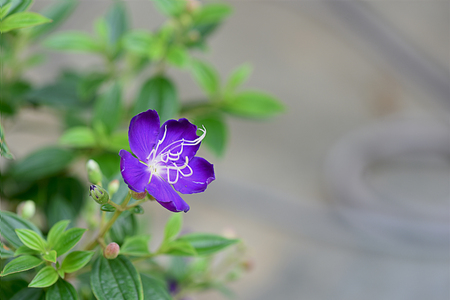 The large purple flower with dark green leaves and conspicuous veins. Stock Photo