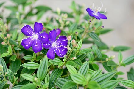 The large purple flowers with dark green leaves and conspicuous veins.