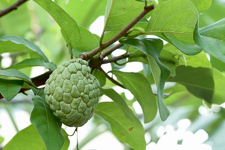 The spherical fruit with a  thick and pale green rind composed of knobby segments.
