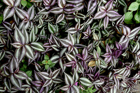 The trailing plants that have oval leaves with iridescent upper surface and a rich purple underside. Reklamní fotografie