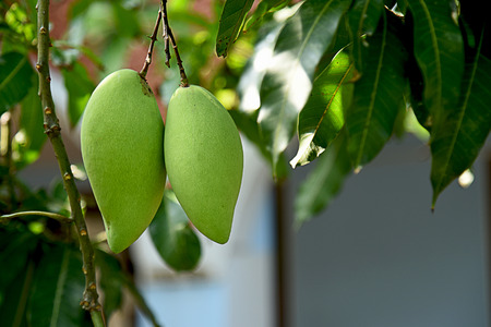 A couple of mangoes hanging from its tree in a home garden. Stock Photo