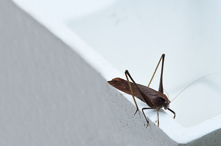 A brown locust with long legs and short antennae.