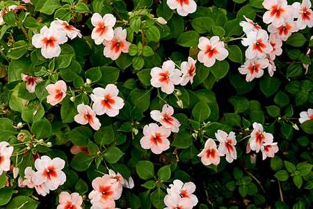 The flowers with five petals and central spurs are commonly grown in parks and gardens. Stock Photo - 98827285