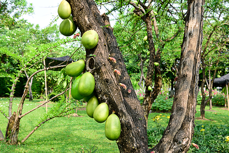 The cannonball - like fruits ,each  7 - 10 cm in diameter of Crescentia alata or Mexican calabash. Stok Fotoğraf
