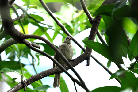 The medium - sized bird with  brownish , pale throat and belly , yellowish vent , whitish - streaked ear - coverts and pale eyes. Banco de Imagens
