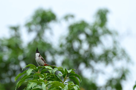 A passerine bird with black crest , red vented , white ears and white spectacles. Stock Photo