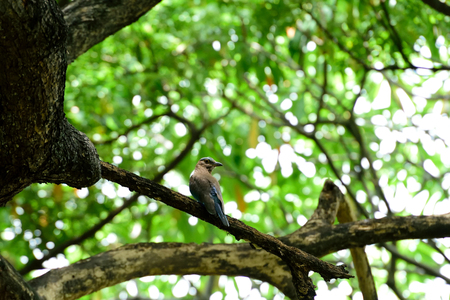 The stocky blue bird was perching on bare branch of a tree. Banque d'images