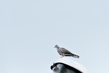 A spotted dove is perching on a lantern.