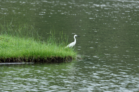 A small heron that has pure white feathers , elongated neck , long black legs and dark bill. Stock fotó
