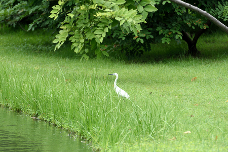 A small heron is waiting on a rim of a swamp to wait for its preys.