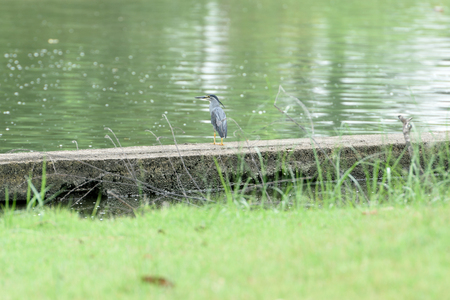 A small heron with blue - grey back and wings waits to ambush prey at the water edge. 版權商用圖片