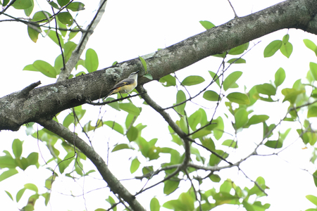 A small bird with grey upperparts and head , yellow underparts and orange tail edges. Stock Photo