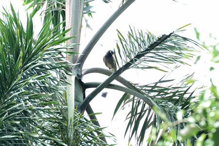 A sleepy  young common myna is perching on a palm branch.