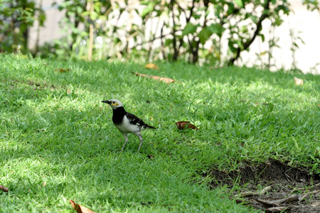 The relatively large myna with black collar , pied pulmage , and can be taught to speak. 版權商用圖片