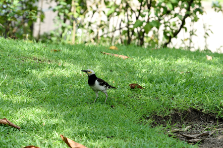 he relatively large myna with black collar and can be taught to speak. 版權商用圖片