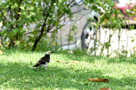The relatively large myna with black collar and can be taught to speak.