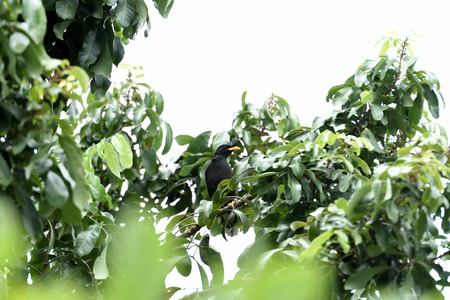 A white - vented myna is perching on a tree branch.