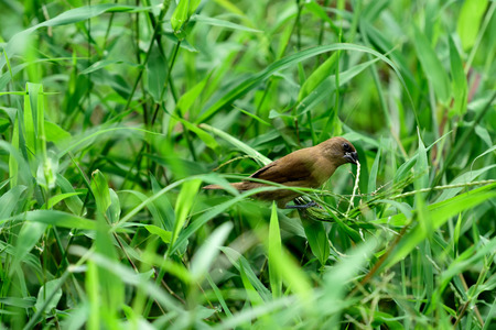 A scaly - breasted munia is eating pollen grasses in a field.