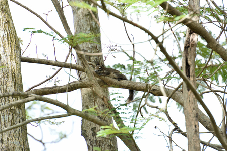 The small rodent with slender body lies along a tree branch.