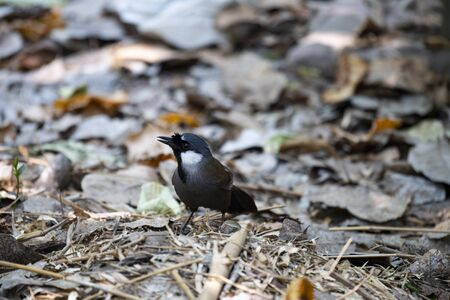 The laughingthrush with black on face and throat is foraging on the ground. Banco de Imagens
