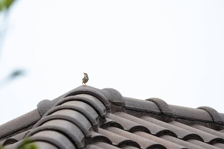 A common tailorbird is perching on a roof tile.