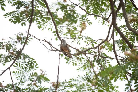 A plaintive cuckoo is perching on a tree branch. Stock Photo