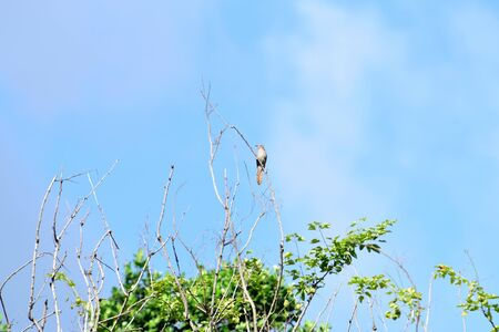 A small bird that has grey - brown color and several plaintive whistling calls.